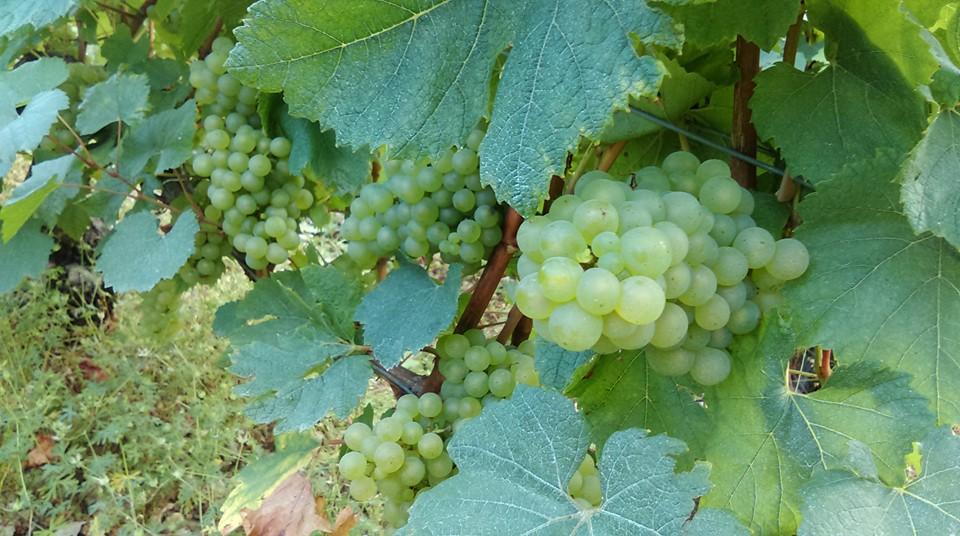 Notre vignoble à Bragelogne dans la Côte des Bar !… + d'infos …